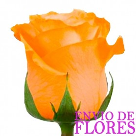 Rosas Damasco